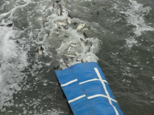 Від початку року у водойми Донеччини вселено понад 155 тонн риби